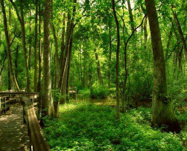 blubonnetSwamp